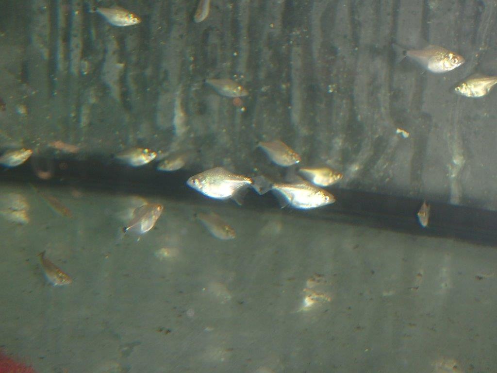 piranhas serrasalmus rhombeus