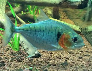 serrasalmus manueli